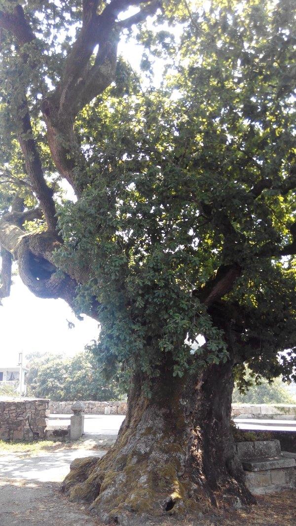 Árboles Senlleiras en Galicia