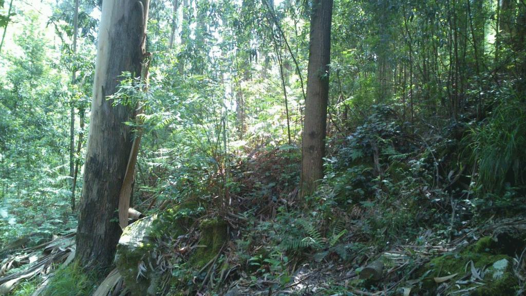 eucalipto-y-acacia