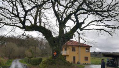 carballo monumental en galicia