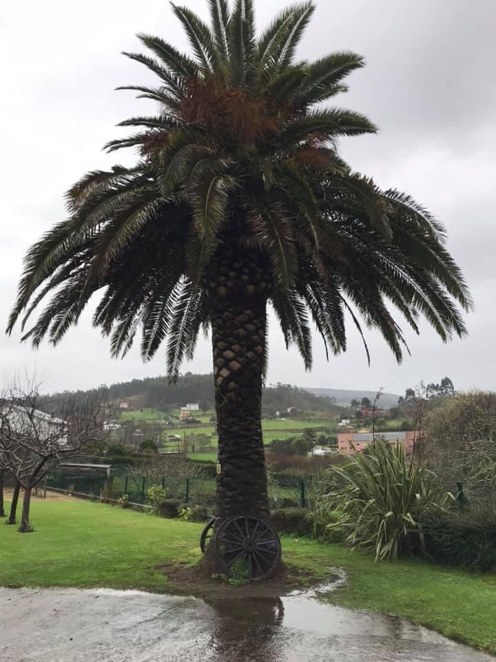 picudo rojo en palmeras en galicia